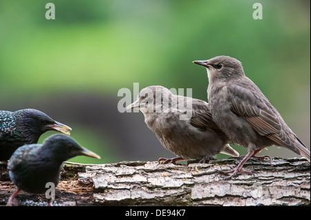 Two Common Starling / European starlings (Sturnus vulgaris) fledglings begging adult birds for food in spring - Stock Photo
