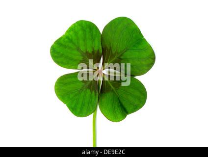 Lucky clover, four leaf clover - Stock Photo