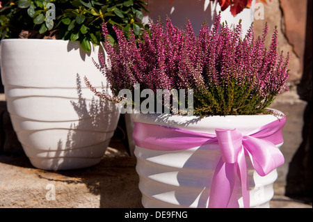 ling plant grow in white flowerpot with pink bow - Stock Photo
