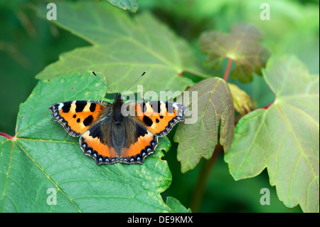 Small Tortoiseshell butterfly (Aglais urticae) UK - Stock Photo