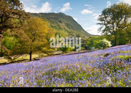 Bluebells and the peak of Gallt y Wenallt, Nant Gwynant, Snowdonia National Park, North Wales, UK