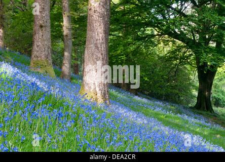 Bluebells in Woodland near Beddgelert, Snowdonia National Park, North Wales, UK - Stock Photo