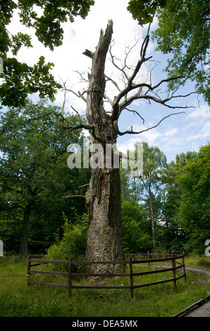 Old fenced oak - Stock Photo