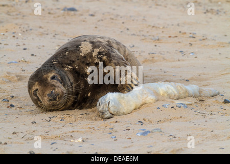 Female Grey Seal (Halichoerus grypus) caresses dead pup, Norfolk - Stock Photo