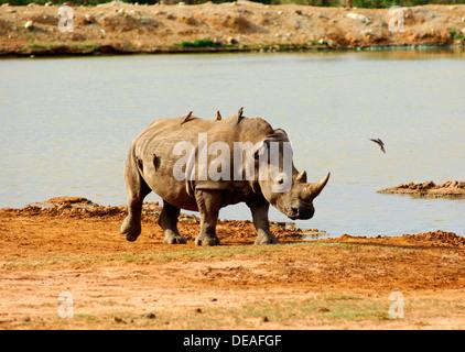 White Rhinoceros, Square-lipped rhinoceros (Ceratotherium simum), Hlane National Park, Swaziland, Africa - Stock Photo