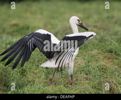 Juvenile White Stork (Ciconia ciconia) landing in the grass of a meadow - Stock Photo
