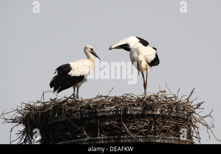 Two juvenile White Storks (Ciconia ciconia)  on the nest - Stock Photo