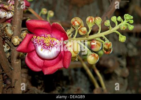 Shivalinga Flower, Ayahuma or Cannonball Tree (Couroupita guianensis), Lecythidaceae, Royal Palace, Phnom Penh, - Stock Photo
