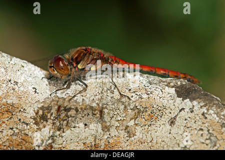 Ruddy Darter (Sympetrum sanguineum), male, Europa, Switzerland - Stock Photo