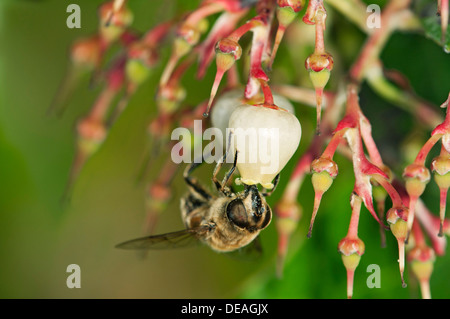 Short-tongued Hoverfly (Villa spec.) drinking from a flower of the Western Strawberry Tree (Arbutus unedo), Europa, - Stock Photo