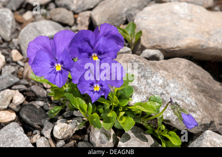 Mont-Cenis violets or pansies (Viola cenisia), Sanetschpass, Switzerland - Stock Photo