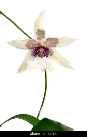 Flowering Tahoma Glacier Beallara hybrid orchid - Stock Photo