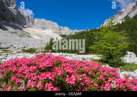 Rhododendrons, Garland Rhododendron, Hairy Alpine-rose, Alpen Rose, Alpine Rose, Alpenrose, Snow-rose (Rhododendron - Stock Photo