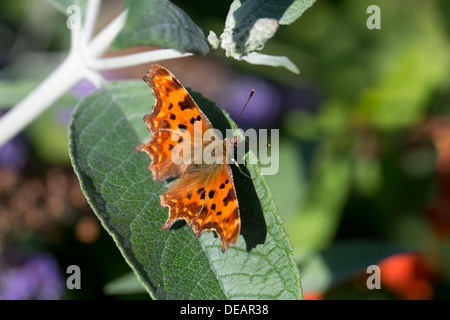 Comma Butterfly; Polygonia c-album; UK - Stock Photo
