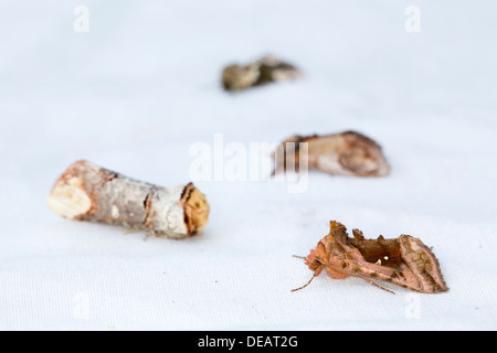 Moths on a White Sheet; Includes Plain Golden Y; Buff Tip; Others; Summer; UK - Stock Photo