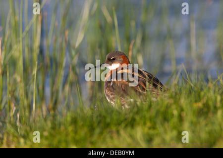 Red-necked Phalarope Phalaropus lobatus, Shetland, Scotland, UK - Stock Photo