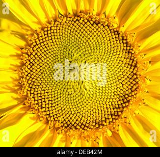 Sunflower macro shot - Stock Photo