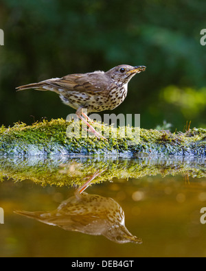 Song thrush (Turdus philomelos) singing on the edge of a pool - Stock Photo