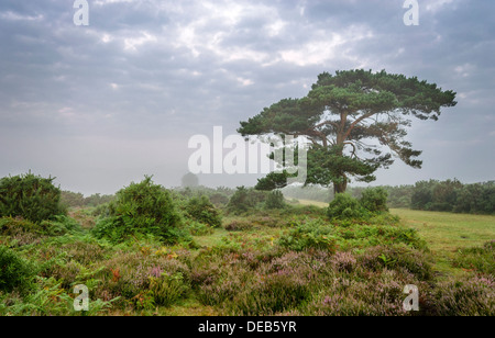 A foggy morning at the lone pine tree at Bratley View in the New Forest - Stock Photo