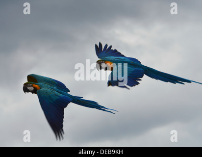 A pair of Blue and yellow Macaw (Ara ararauna), also known as the Blue and gold Macaw (EDITORIAL USE ONLY) - Stock Photo