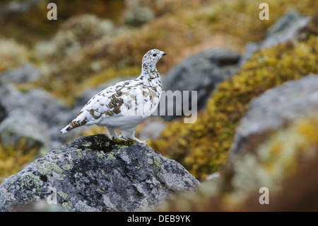 A female ptarmigan (Lagopus mutus) standing on a lihen covered rock, high up on The Cairnwell in the Cairngorms - Stock Photo