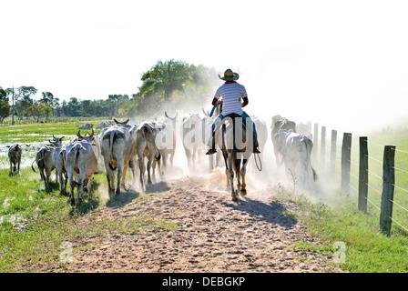 Brazil, Pantanal: Brazilian cowboy driving cattle at Pousada/Farm Piuval - Stock Photo