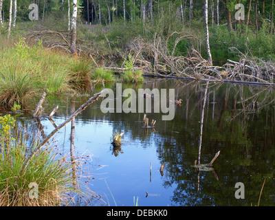 highmoor, hill moor, continental raised bog / Arracher Hochmoor / Bavarian Forest, Bavaria, Germany with mallard - Stock Photo