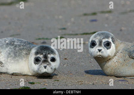 Harbour Seals (Phoca vitulina), pups, East Frisian Islands, East Frisia, Lower Saxony, Germany - Stock Photo
