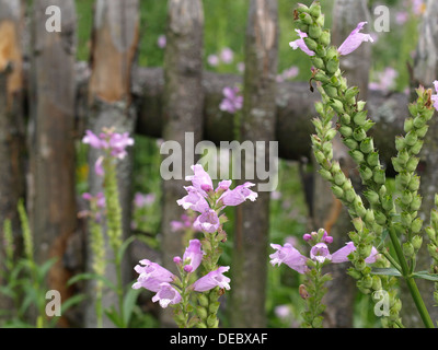 obedient plant, obedience, false dragonhead / Physostegia virginiana / Gelenkblume - Stock Photo
