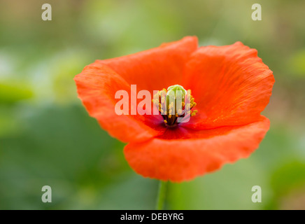 Poppy or Corn Poppy (Papaver rhoeas), flower, Vila Real District, Portugal - Stock Photo