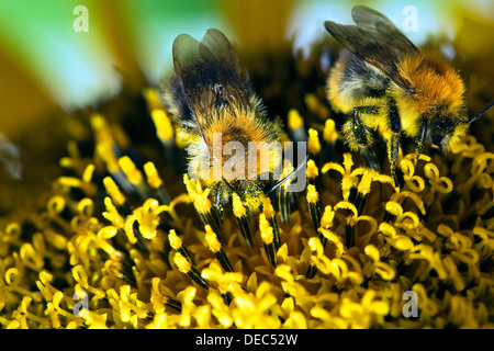 Two Bumble Bees (Bombus sp.) collecting nectar and spreading pollen on a sunflower, Berlin, Germany - Stock Photo