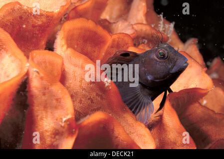 Eastern Atlantic Galicia Spain Ringneck Blenny Parablennius pilicornis living into rose coral Pentapora foliacea - Stock Photo