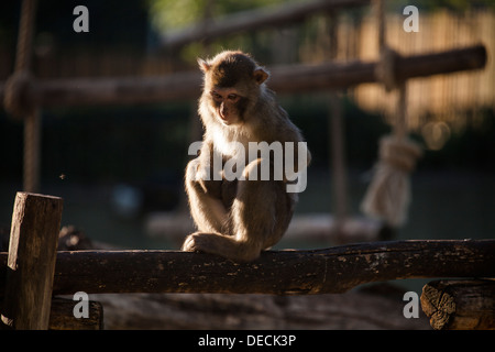 Japanese macaque, Macaca fuscata, sitting in Bioparco, Rome, Italy, Europe - Stock Photo