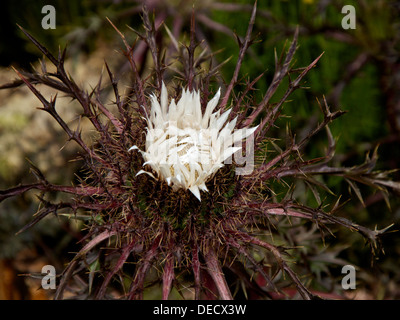 Flower head of Carlina acaulis ssp.simplex 'Bronze' form, variety of Alpine Carline Thistle. - Stock Photo