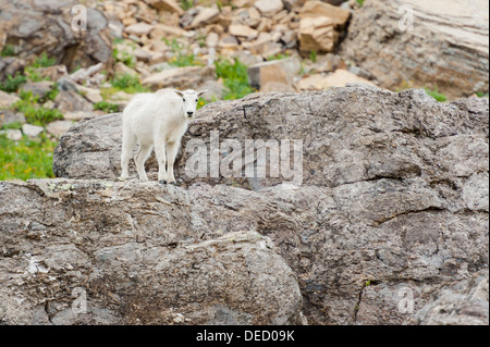 A juvenile mountain goat stands on giant boulder while trying to decide the best descend route. Glacier National - Stock Photo