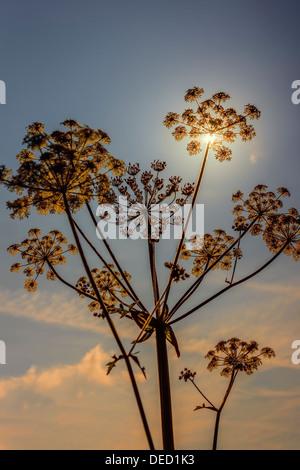 Sunlight through plant seedhead - Stock Photo
