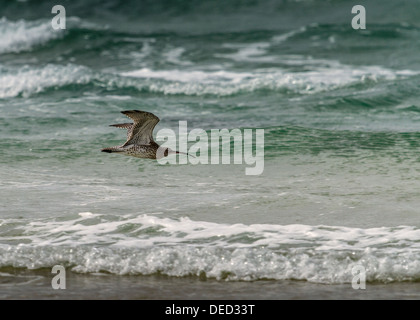 Curlew in flight over Constantine Bay Cornwall - Stock Photo