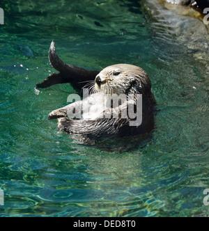 Wild Sea Otter (Enhydra Lutris) Floating - Stock Photo