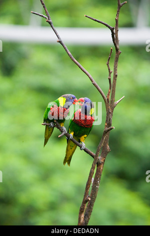 Two rainbow lorikeets perched on a small branch. - Stock Photo