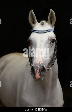Pure spanish horse Andalusian stallion (PRE) low key portrait - Stock Photo