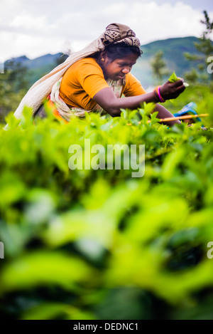 Tea picker in a tea plantation in the Hill Country, Central Highlands, Nuwara Eliya District of Sri Lanka, Asia - Stock Photo
