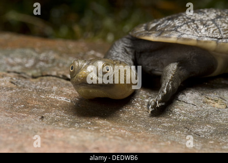 Northern snake-necked turtle, Chelodina siebenrocki - Stock Photo