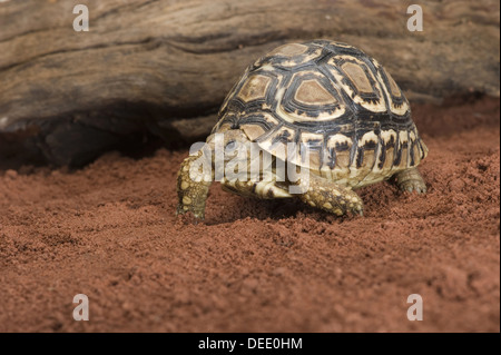 Leopard tortoise, Stigmochelys pardalis / Pantherschildkröte, Stigmochelys pardalis - Stock Photo