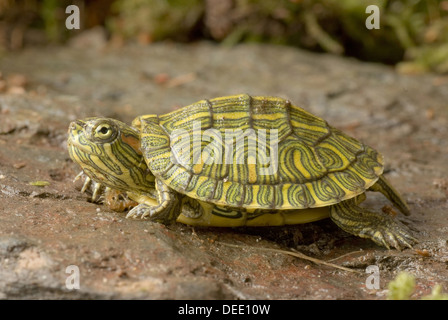 Red-eared Slider, Trachemys scripta elegans 'southern texas form' - Stock Photo