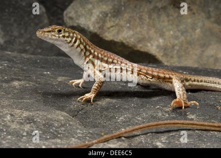 Painted Long Tailed Lizard, Latastia longicaudata - Stock Photo