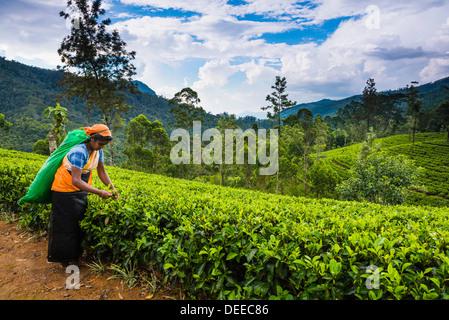 Tea picker in a tea plantation in the Hill Country, Sri Lanka's Central Highlands, Nuwara Eliya District of Sri - Stock Photo