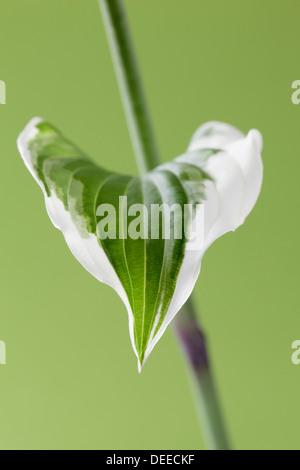 Single Hosta leaf on stem - Stock Photo