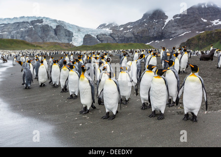 King penguins (Aptenodytes patagonicus) breeding and nesting colony at Gold Harbour, South Georgia, South Atlantic - Stock Photo