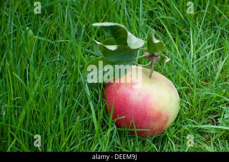 apple fallen from tree in green grass - Stock Photo