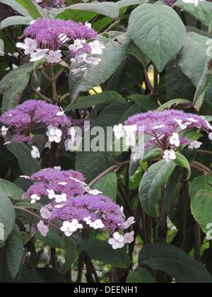 Hydrangea aspera 'Macrophylla' ( Large Leaved Scabrous Hydrangea ) in Flowery - Stock Photo